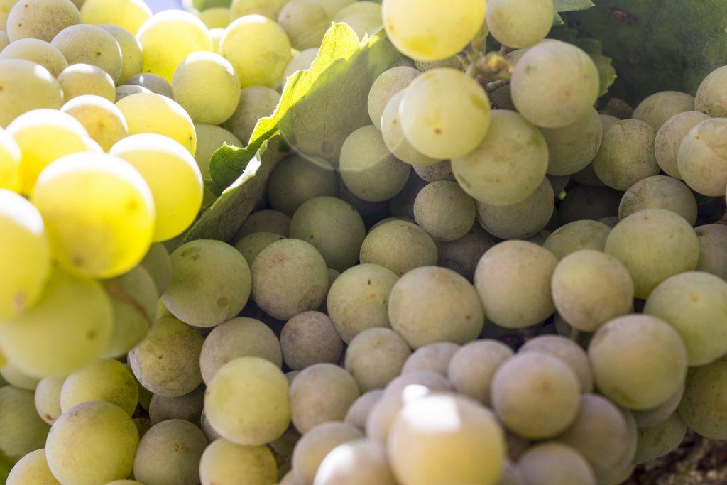Виноград для белого вина